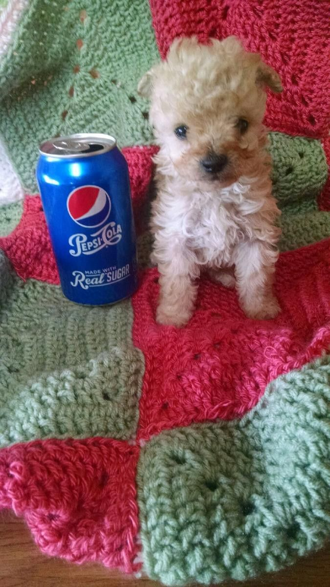Chipoo Puppies For Sale Portland, OR in 2020 Puppies