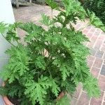 Citronella plants Archives - Gardening Know How Questions & Answers