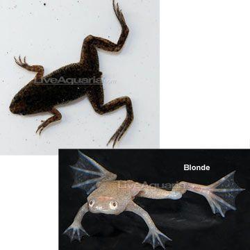 Dwarf African Frog (Hymenochirus curtipes)