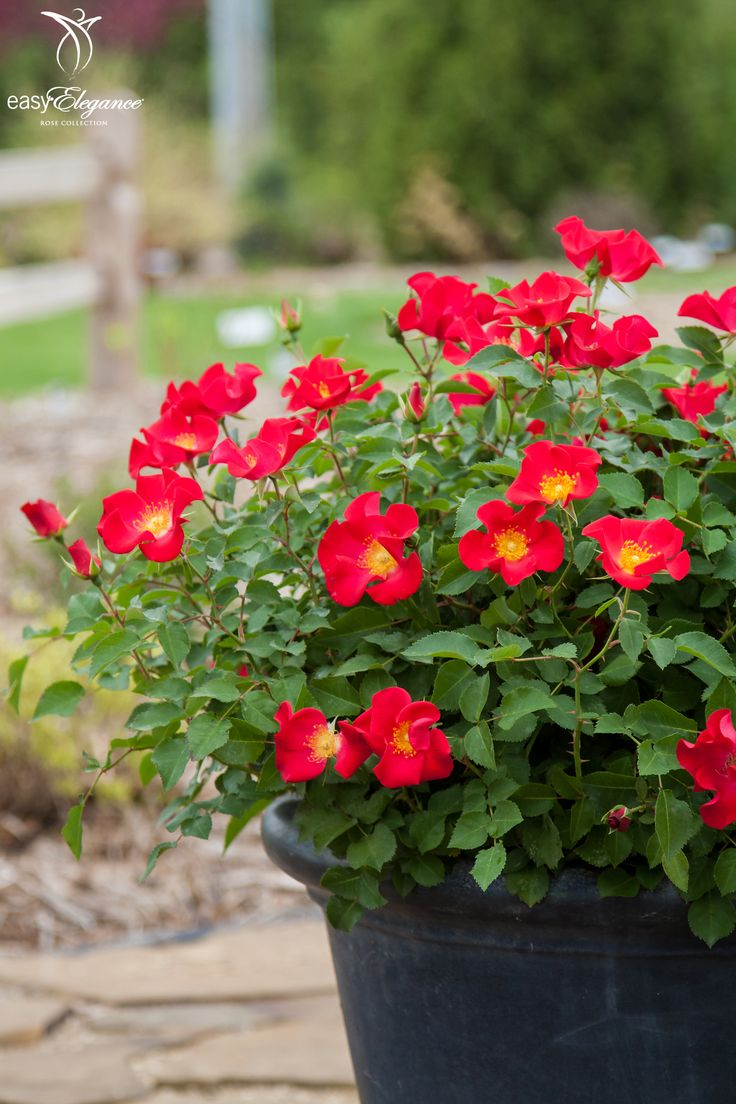 795 best images about garden on pinterest gardens farmers almanac and the old - Rose cultivars garden ...