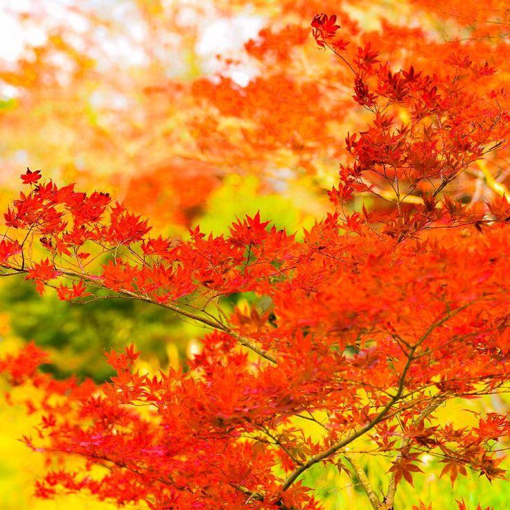 そろそろ山では紅葉🍁本番^ - ^  #滋賀 #紅葉 #紅葉狩り#autumnleaves #autumn #gobiwako #gf_japan #tokyocameraclub #team_jp_ #team_jp_西 #icu_japan #igersjp #instagram #instagramjapan #icu_nature #Japan_Daytime_View #japan #カメラ好きな人と繋がりたい #loves_cameras #loves_nippon #loves_flowers_