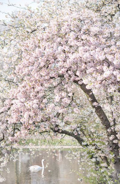 London Photography - Spring in St James Park, Pink Blossom Tree Art Print