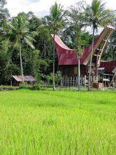 Rice Paddies near Rantepao, Toraja, Sulawesi, Indonesia