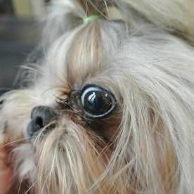 Tear Stains in Shih Tzu Dogs: Clip excessive hairs pointing towards the eye to prevent irritation