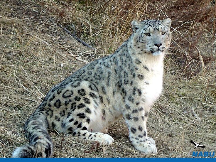 Schneeleopard / Snowleopard  www.schneeleopard.de