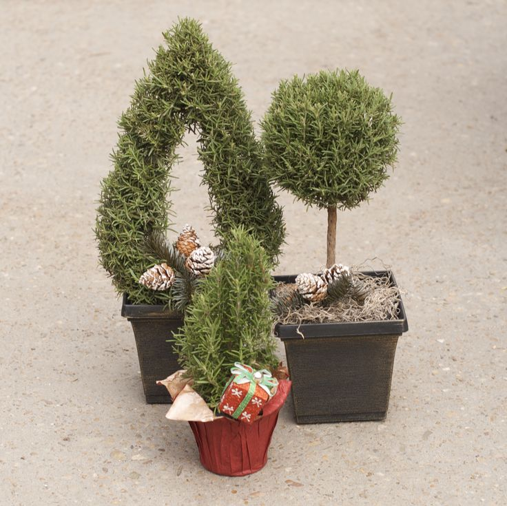 Fresh and fragrant rosemary cones and topiaries for the holidays. McDonald Garden Center