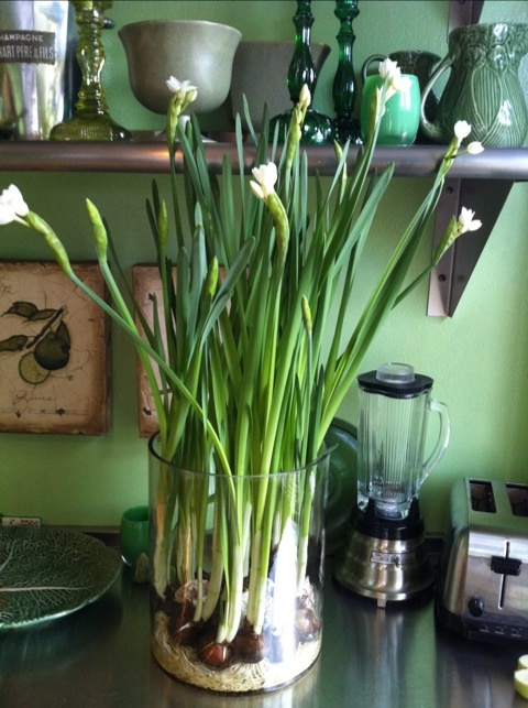 Growing Paperwhite Narcissus In A Glass Container For