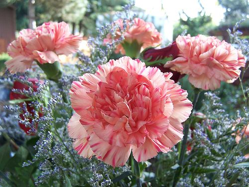 Growing Carnations from Seed and the Caring | Typesofflower.com