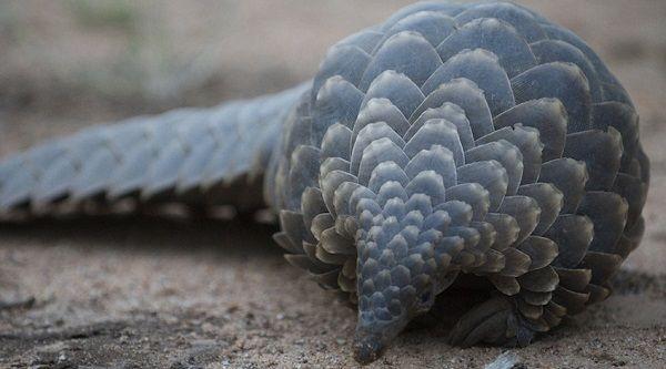 O pangolim continua na lista das espécies dos mamíferos em alto risco de extinção, lançado pela CITES.