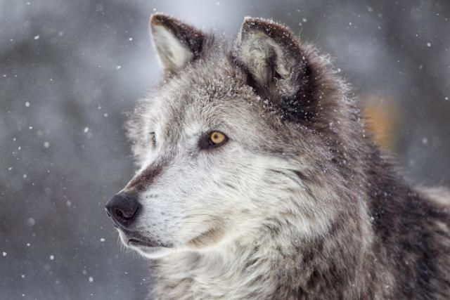 Wolf totem represents guardianship, call of the wild, and loyalty.