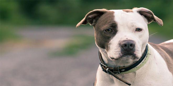 Conoce aquí la importancia de socializar y entrenar a tu Pitbull Americano y consigue tener una mascota maravillosa y leal Clic Aquí>>> http://sobreperrosygatos.com/pitbull-americano/