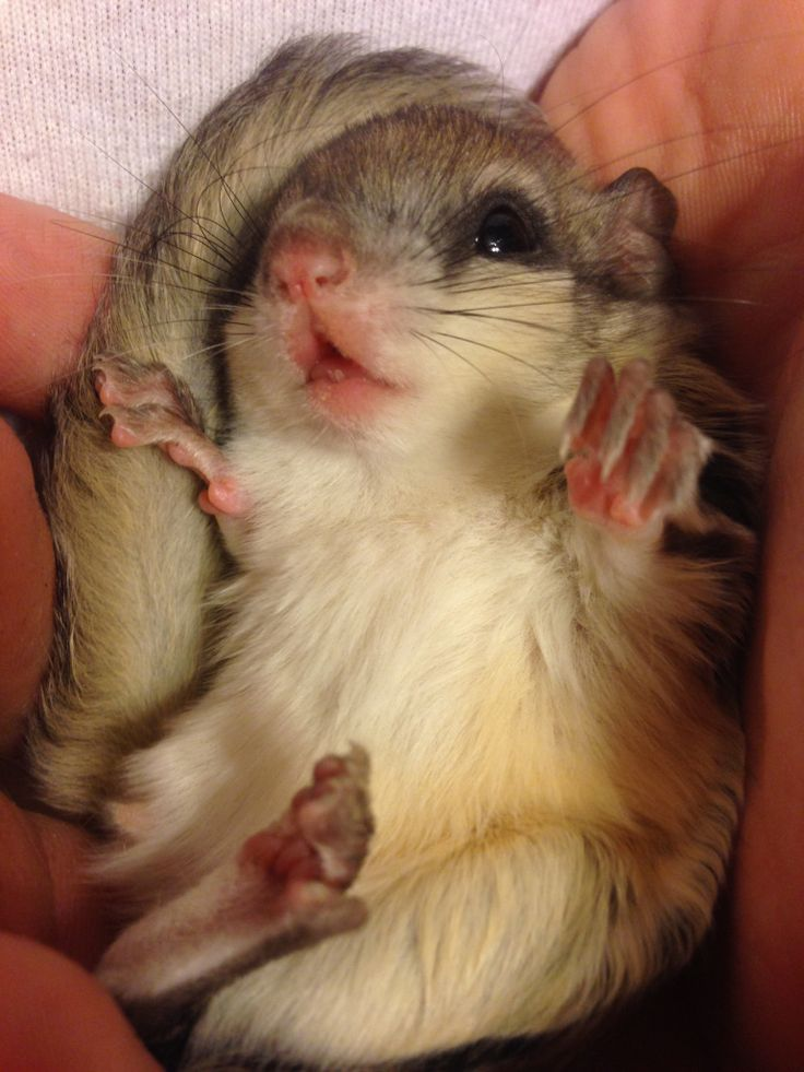 adorable flying squirrel