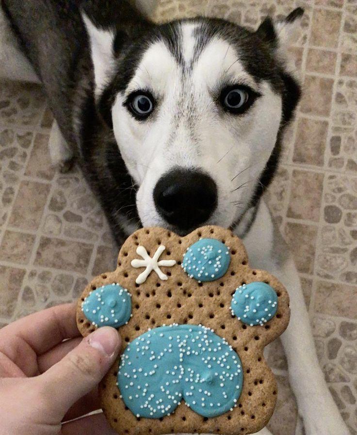 Giant eyes for a holiday treat husky huskies husky