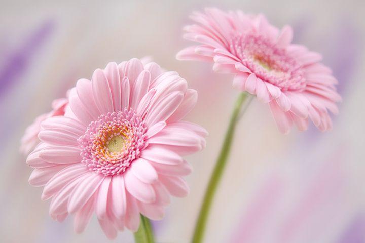 I love this color Gerbera daisy ...  FAVORITE FLOWERS EVER.