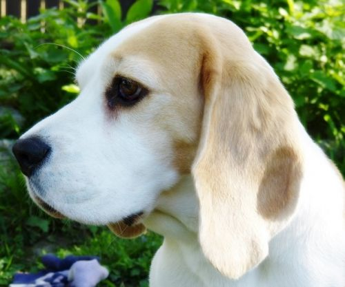Vienna Calling All In (Olive) - Vienna Calling – The Beagle Kennel