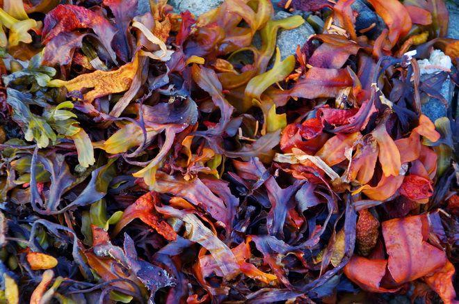 Rainbow coloured seaweed - Haida Gwaii