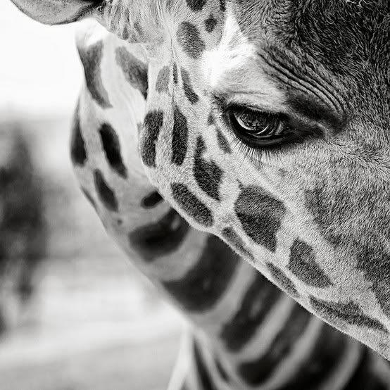 Giraffe is watching you!