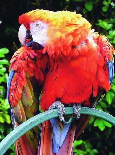 Macaw Parrot amazon Animals