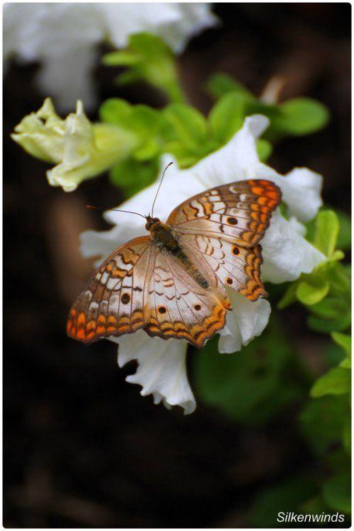 natures-garden:    Beautiful Butterflies 4 by *SilkenWinds