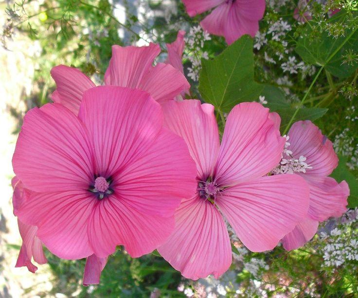 Malvas de Jardim | Preço por unidade: 0,50€ (indisponível) | Referência: F009 | Mais informações em: http://biokafs-agro.weebly.com/flores.html