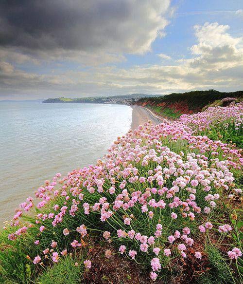 Sea Thrift on the coast at Dawlish, Devon, England, UK