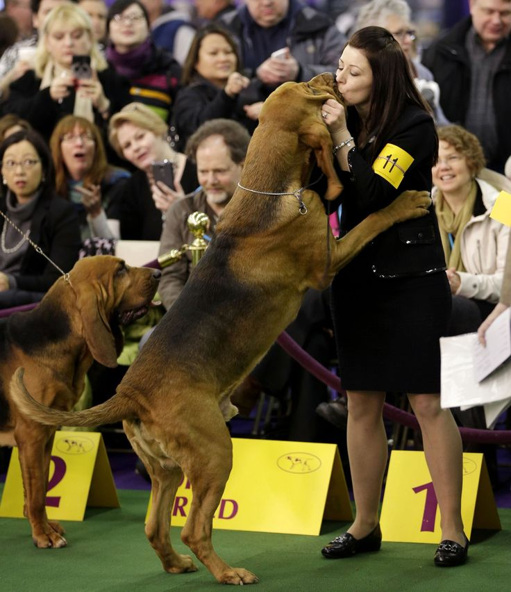 2015 Westminster Dog Show Spoils to the winner     A bloodhound named Flessner's International S'cess, or Nathan, kisses handler Heather Helmer after winning best of breed at the Westminster Kennel Club show in New York on Feb. 16.