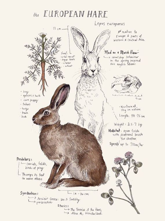 Printed on Natural Savoy Cotton Paper, this print features one of my Natural Science journal entries of the European Hare. Originally drawn in watercolor and ink. Dimensions: 5 x 7