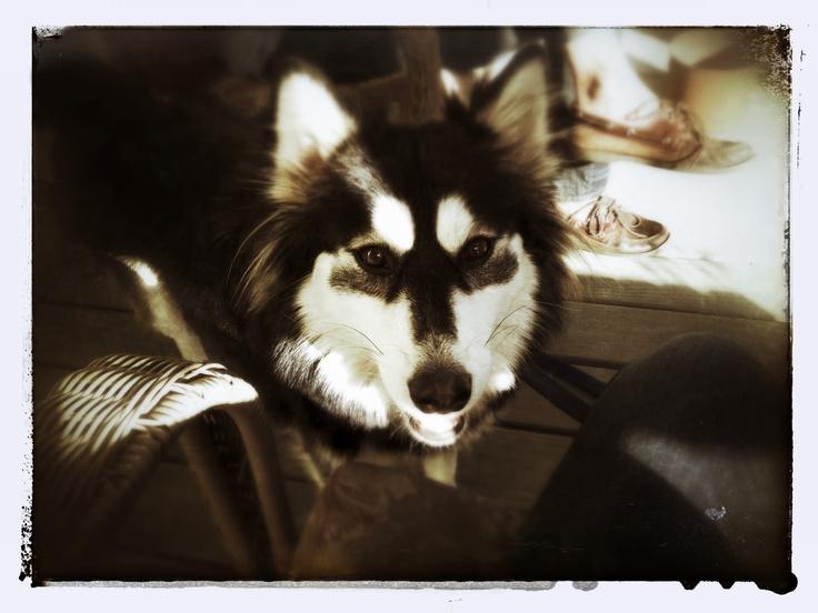 Pin by Rachel Przepiora on Fur the love of Huskies Husky