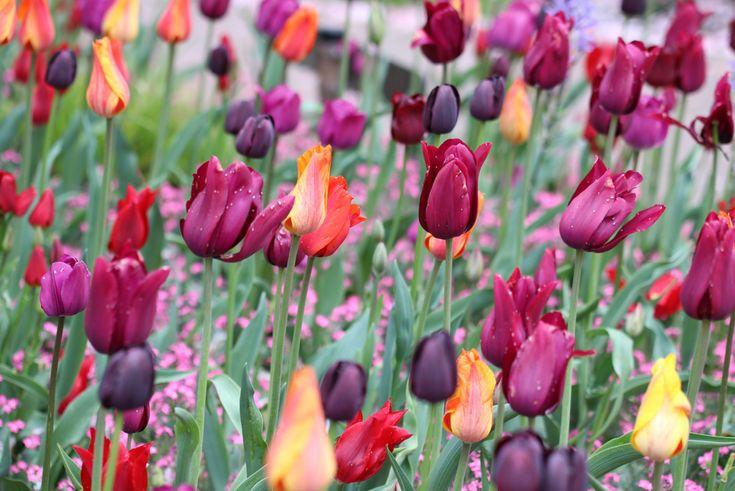 Tulpen Abschneiden