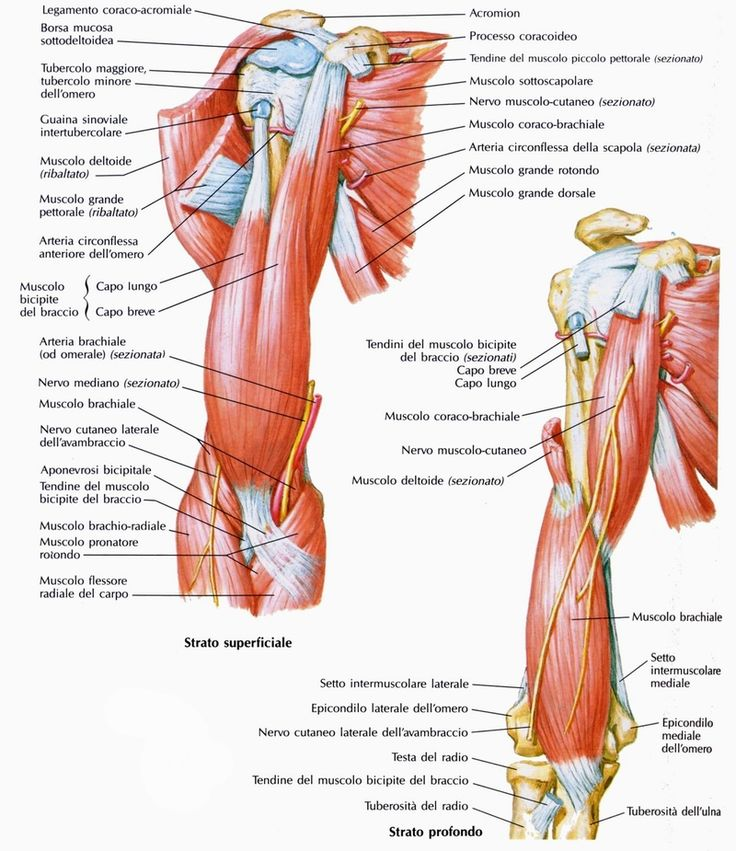 muscoli_del_braccio_visti_anteriormente.jpg (800×925)