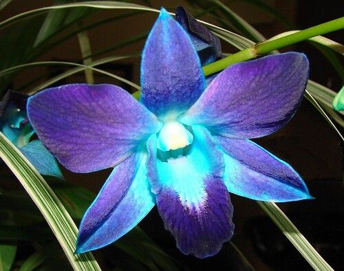 Blue orchids tattoo?! For my Grandma