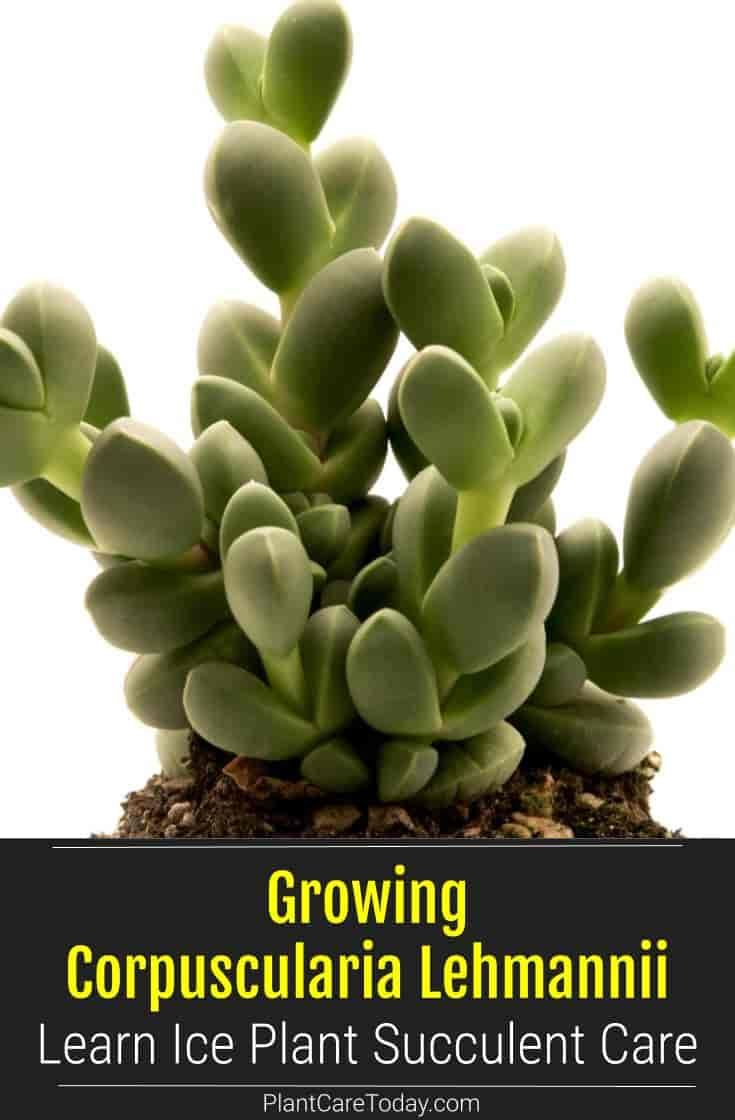 Growing Corpuscularia Lehmannii Learn Ice Plant Succulent Care