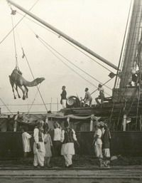 Unloading camels, Port Augusta, 1890s. The curators estimate that between 1870 and 1900 more than 2000 cameleers and an amazing 15,000 camels came to Australia, largely from British India and Afghanistan. The cameleers were predominantly Pashtun, Baluchi, Punjabi and Sindhi. They spoke their own languages in Australia and religion was their common bond. Nearly all were young or middle-aged men.