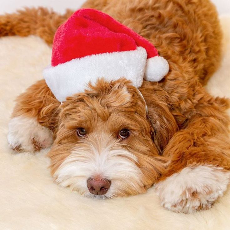 Best Labradoodle Chubby Adorable Dog - 31972d2d66f92c0bd8914489dc3f5018--celebrating-christmas-christmas-  Gallery_61323  .jpg