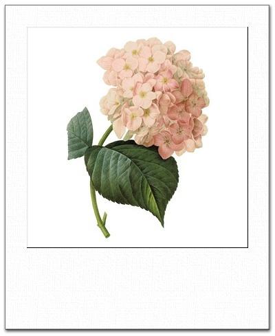 Hortensia rosa polaroid
