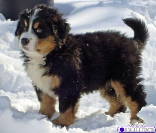 Big White Snow Dog Breeds