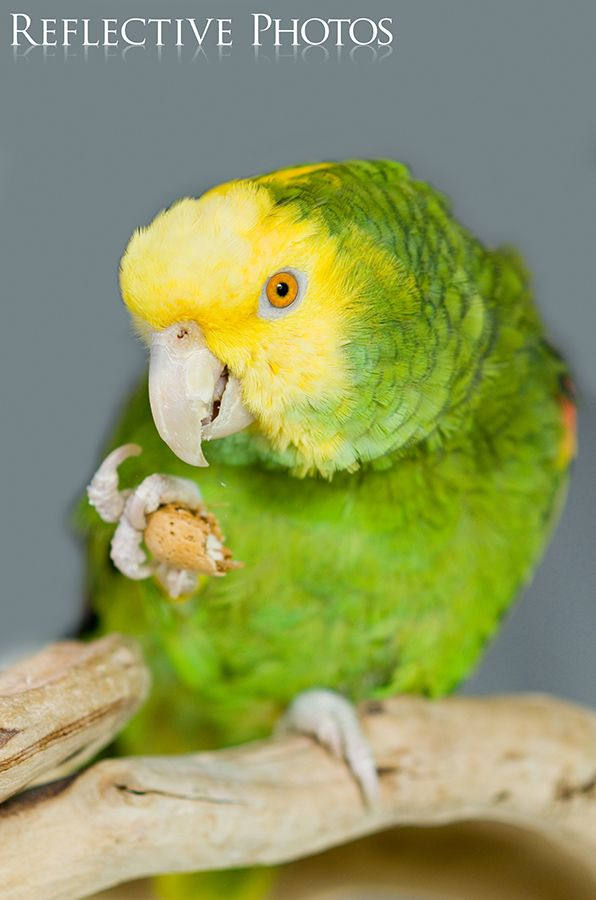 """""""Yellow-Headed Amazon Eats Nut"""" Metallic prints and canvas art sales of this little guy support bird rescue efforts."""