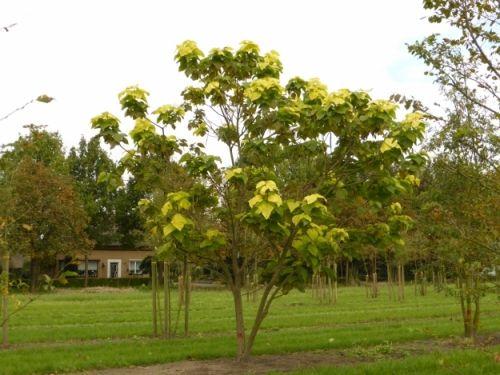 catalpa bignonioides 39 aurea 39 tree multitrunk multistem. Black Bedroom Furniture Sets. Home Design Ideas