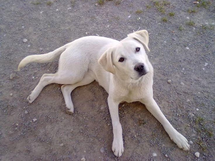 Labrador sable ♥