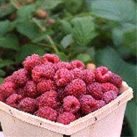 Growing berry shrubs Edible Landscaping with Charlie Nardozzi :: National Gardening Association
