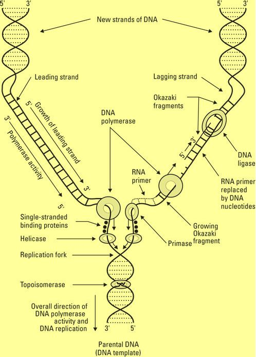 DNA replication (left strand: the easy way, right strand: the hard way). Siegfried, Donna Rae; Rene Fester Kratz (2010-05-25). Biology For Dummies (Kindle Location 2100). Wiley.