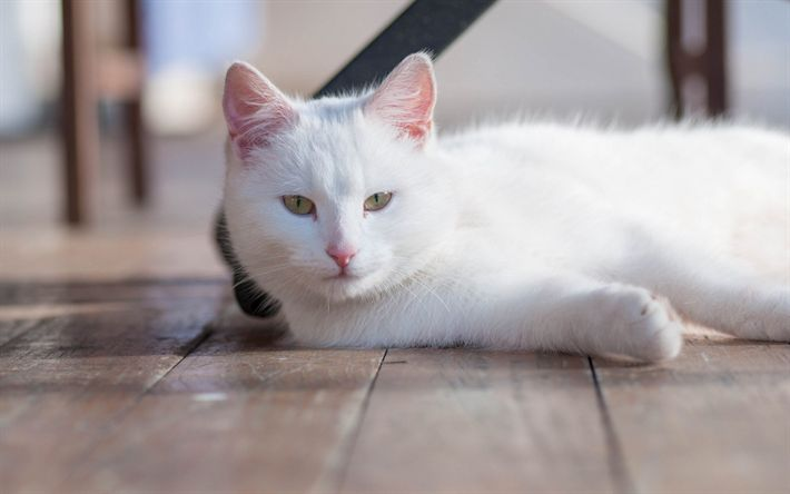 Download wallpapers white cat, pets, short-haired cats, laziness, green eyes