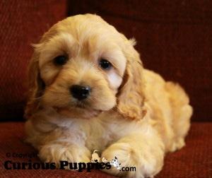 #cockapoo_puppies #cockerspaniel_poodle_mix