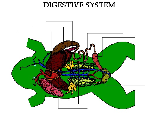 report the digestive system of frogs