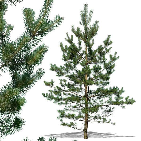 pine10p.jpgfe27f791-58d8-4ce3-971c-ba52ba883aecLarge.jpg (600×600)