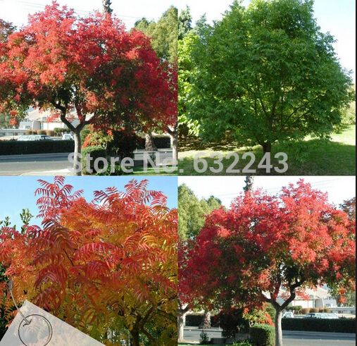 Pistache Chinese Pistachio Tree