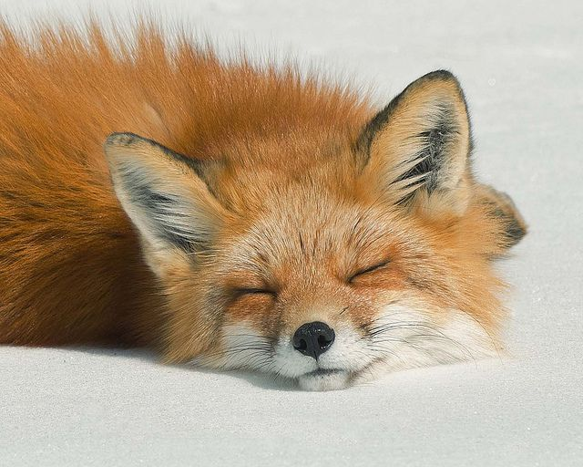 """'Sleeping Fox' - photo by Les Piccolo, via Flickr  ...click on the photo to read the story of how this fox and the photographer spent part of their day """"together""""..."""