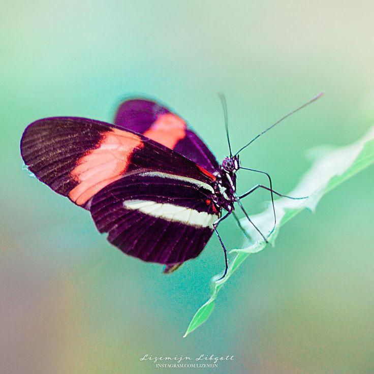 Butterfly  Copyright Lizemijn Libgott  https://instagram.com/lizemijn