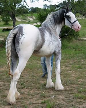 Rare Draft Horse Breeds   Rare or different colored draft horses, breeds, etc! at the Horse ...