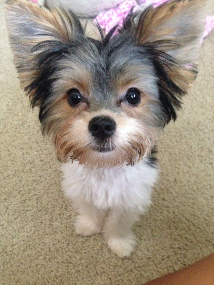 Yorkie Puppy Names Girls
